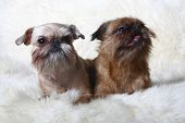 two Griffon Bruxellois in front (1 and 2 years) poster