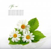 pic of easter flowers  - Daisy flowers in white background  - JPG