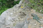 Eastern Collard Lizard