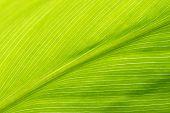 grünes Blatt Textur hautnah