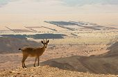 Ibex on the cliff at Ramon Crater (Makhtesh Ramon) in Negev Desert in Israel.