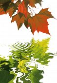 autumn concept with red maple leaves reflecting there lost summer color in the water isolated on whi