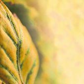 Autumn background with shallow dof yellow birch leaf