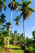 Little wooden huts in tropical palm-tree landscape between Baracoa and Maguana on Cuba