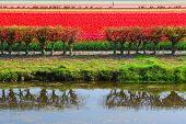 Dutch red tulips fields in Lisse near spring garden 'Keukenhof', Holland