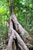 Big tree in tropical Daintree rainforest Queensland Australia