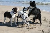 image of dog park  - 3 dogs playing on the beach - JPG