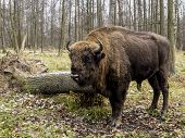 Big Auroch Standing In The Forest. The European Bison (bison Bonasus), Also Known As Wisent Or The E poster
