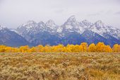 Grand Tetons With Autumn Golden Aspens