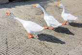 Goose in a row