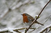 The Winter Robin