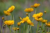 There Is A Lovely Summer Background With Yellow Coreopsis Flowers. Yellow Flowers On A Blurred Yello poster