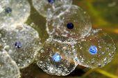 Frog Spawn 3
