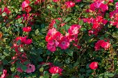 Beautiful Fresh Roses In Nature. Natural Background, Large Inflorescence Of Roses On A Garden Bush.  poster