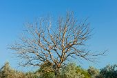 Old Withered Walnut Tree