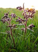 Poisonous Plant Dope-grass With Dark Flowers And Fluffy Leaves Grows Beautifully At Sunset. poster