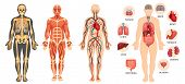 Structure Of Human Body, Skeleton, Muscular System, Blood Vessels, Organs. poster