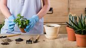 Spring Home Plant Repotting. Indoor Garden Care. Woman Holding Houseplant For Transplantation. poster