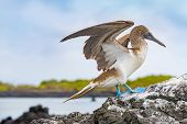 Galapagos animals. Blue-footed Booby - Iconic and famous galapagos animals and wildlife. Blue footed poster