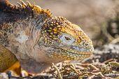 Galapagos Land Iguana - close up of yellow land iguana on North Seymour. Amazing animals and wildlif poster