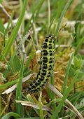 Six-spot Burnet Moth Caterpillar