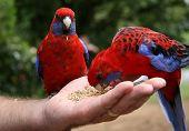 Two Parrots  Mans Hand