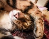 Bengal Kitten Sleeps. Contrast And Bright Photo. poster