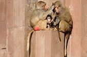 Monky family. Mother father and baby is sitting in the sun.