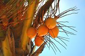 Ripe Coconuts (cocos Nucifera) On A Palm Tree. poster