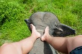 Photograph Of The Legs Of An Elephant Driver. Indian Elephant, Top View, The Driver Is Sitting On An poster