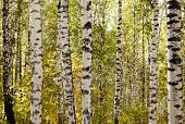 stock photo of birchwood  - Photo of a birchwood in the summer on a daylight - JPG