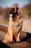 leonberger dog portrait on the railway