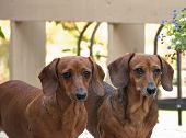 picture of molly  - Two bright eyed reddish brown female dachshund dogs standing side by side - JPG