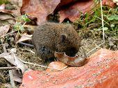 Ratón de campo de bebé