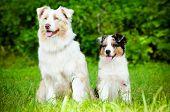 australian shepherd dogs family