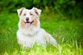 australian shepherd dog resting in the grass