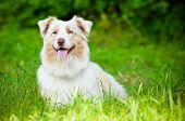 australian shepherd dog resting in the grass