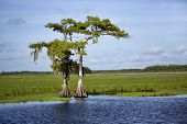 Two cypress trees on the banks of the Saint Johns River