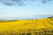 Golden Fields Of Canola Flowers In Bloom