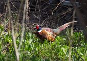 stock photo of creeping  - Pheasant - JPG