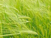 wheat field (Triticum spp.)