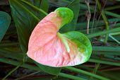 Pink Anthurium Lily