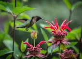 pic of hummingbirds  - Hummingbirds at Middle Creek Wildlife Refuge in Lebanon - JPG
