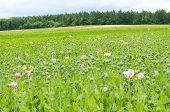 foto of opium  - Field of opium poppies - JPG