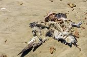 picture of albatross  - Dead Albatross on Mason Bay Beach on Stewart Island in New Zealand - JPG