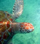 foto of sea-turtles  - Sea turtle in the open ocean swimming through clear water - JPG