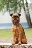 Brussels Griffon Dog Portrait