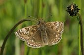 stock photo of dingy  - Dingy Skipper Butterfly - Erynnis tages