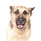 foto of alsatian  - Portrait of Alsatian dog isolated on white background - JPG