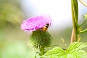 Wild Thistle With Pink Flower And Bee On Green Background